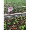 云南丽江重楼片别名七叶一枝花 、蚤休、独角莲苗批发销售