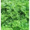 魔芋基地图片/魔芋种子、魔芋粉/魔芋种植基地