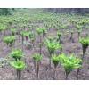 云南曲靖魔芋种植基地600多亩/魔芋加工