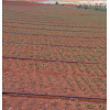 白芨种茎批发价格/云南白芨种植供货商家