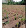 供应香椿芽/紫花白芨、红油香椿等农作物