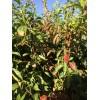 樱桃、苹果、贴木、板栗等一切经济苗木