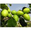 西双版纳优质高产台湾大青枣苗---兴达热带苗木基地大量低价供应