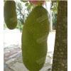 云南西双版纳正宗马来西亚1号菠萝蜜苗供应