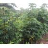 本地木棉苗木批发商家-巴西葡萄-巴西樱桃苗价格