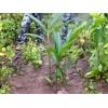 云南砂仁育苗-黄精、辣木、重楼等中药材的种苗培育
