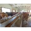 开远市绿盛种养殖基地/安格斯肉牛批发价格