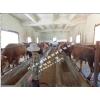 2015开远西门塔尔、秦川红牛和安格斯肉牛价格