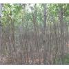 红河小叶榕树苗/小叶榕规格苗5-8cm价格