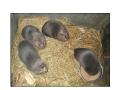 教你竹鼠技术  竹鼠的养殖技术 (4712播放)