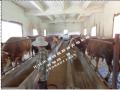 怎么把西门塔尔牛的养殖技术  什么是西门塔尔牛 (50522播放)