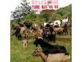 黑山羊是什么 教你如何养殖黑山羊 (7437播放)