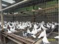 肉鸽的养殖技术 看你如何培育肉鸽 (4243播放)