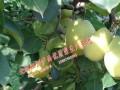 梨中梨——泸西雪花梨、油桃、皇冠梨生产的优质梨