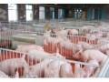 养猪的基本技术  什么是养猪技术