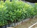 杨梅的种植技术 什么是杨梅的种植技术 (5794播放)