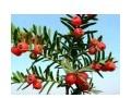 红豆杉的种植技术 什么是红豆杉 (6199播放)