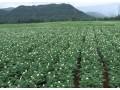 马铃薯的种植技术  如何种植马铃薯 (4273播放)
