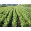 本基地常年供应各种果树苗