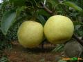 梨苗的种植技术 怎么种植梨苗 (55956播放)