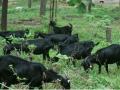 养羊户如何做到黑山羊的防病、防流产与饲喂?