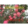 出售山东优质红富士苹果
