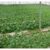 网棚中的马铃薯移栽苗_一级种及优质商品薯。