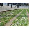 优质移栽网棚中的马铃薯试管苗