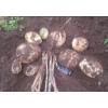 丽薯6号-原种一级种及优质商品薯