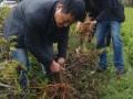 肥谷村中药材种植帮群众脱贫致富