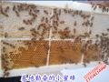 土蜂蜜厂家[087164155848]