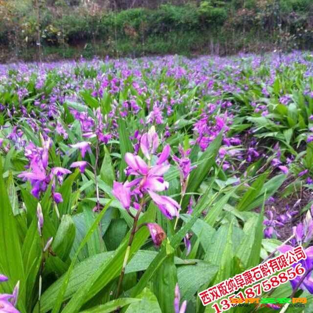 南省西双版纳州石斛品种有哪些 铁皮石斛.紫皮石斛.黄皮石斛.水草石斛
