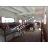 西门塔尔育肥肉牛50头出售,价格26一27元/公斤