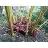 一株草果种苗产多少草果成品_进入旺盛期可达20公斤