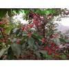 樱桃◆红玛瑙大甜樱桃苗 (每株)◆美洲大甜樱桃苗