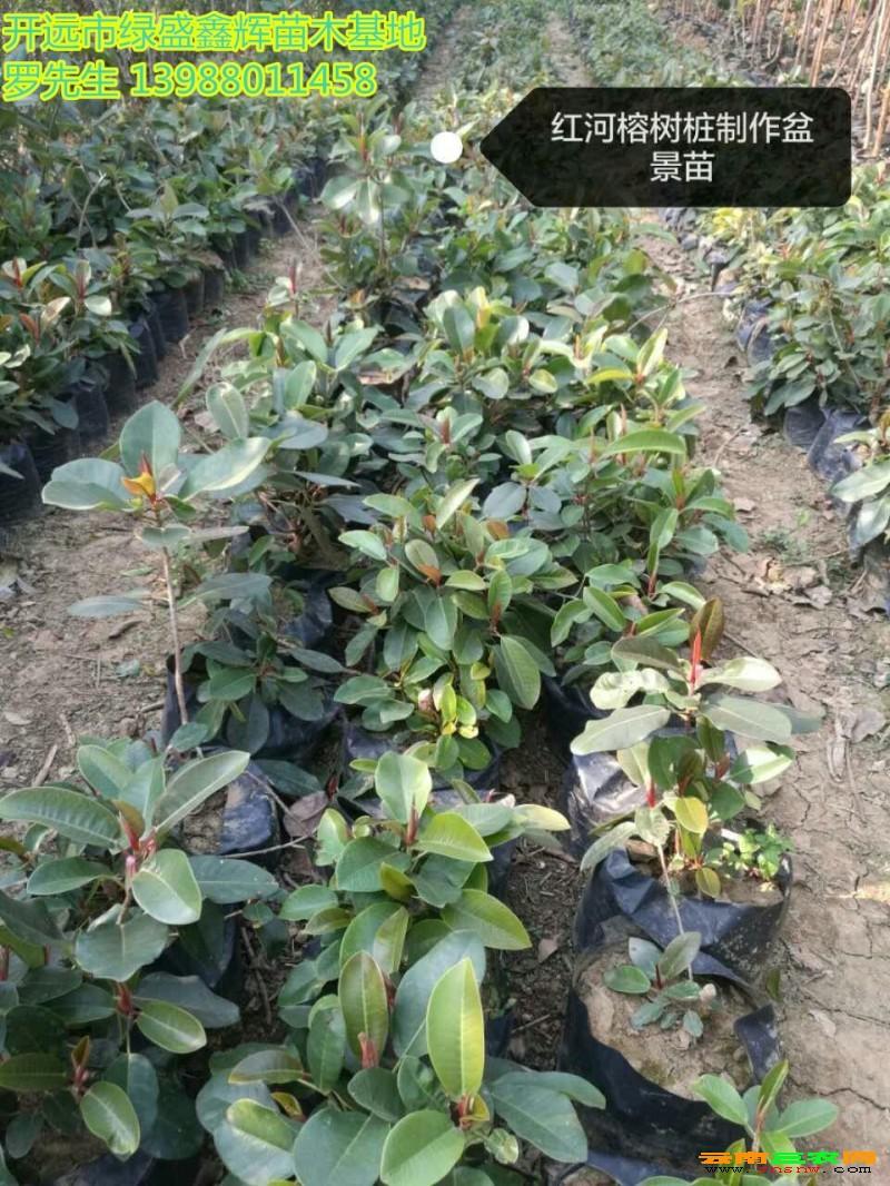 菩提树价格◆云南小叶紫檀一万株批发 清香木哪里有,小叶香樟树苗报价