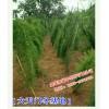新云南大天门冬种子◆大天门冬种苗销售