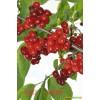 红玛瑙大甜樱桃苗_品种齐全和纯正的 进口美洲大甜樱桃苗