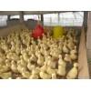 大种鹅苗批发养殖好项目