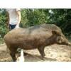 冬瓜猪★云南冬瓜猪★滇瑶冬瓜猪景洪小耳猪价格、小耳猪好养殖吗?