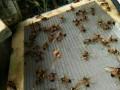 云南哪里有胡蜂养殖技术培训_云南胡蜂养殖网