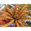 2016昆明虫草价格_160元/克( 5克起批)