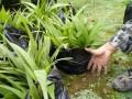 文山(西双版纳)铁皮石斛直销售*紫皮石斛种植户