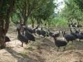 陈容香生态养殖冠珍鸡打开致富门路。