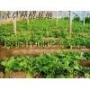 保健蔬菜 非洲冰草种子
