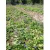 云南小紫丹参种苗、种子