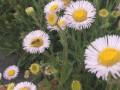 云南灯盏花种植户