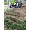 红河弥勒金铁锁种植基地/免费提供种植技术/弥勒独定子