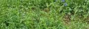 小草乌种子基地