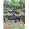 云南大白山羊/白山羊价格行情/昆明白山羊养殖场基地信息